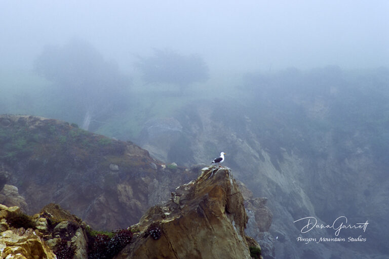 seagull, sea bird, big sur, california, coast, pacific coast, coastal highway, highway 1, nature, dana garrett, pinyon mountain studios
