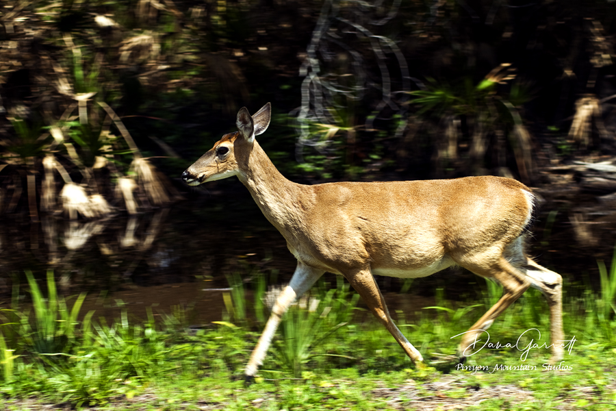 white-tail, deer, florida, myakka, state park, wildlife, dana garrett, pinyon mountain studios