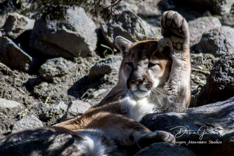nevada, cougar, mountain lion, animal ark, reno, dana garrett, pinyon mountain studios