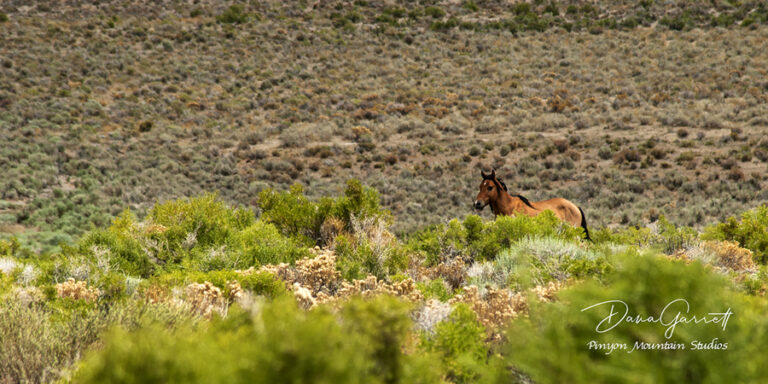 nevada, horses, desert, wild horses, water, winnemucca lake, empire, dana garrett, pinyon mountain studios