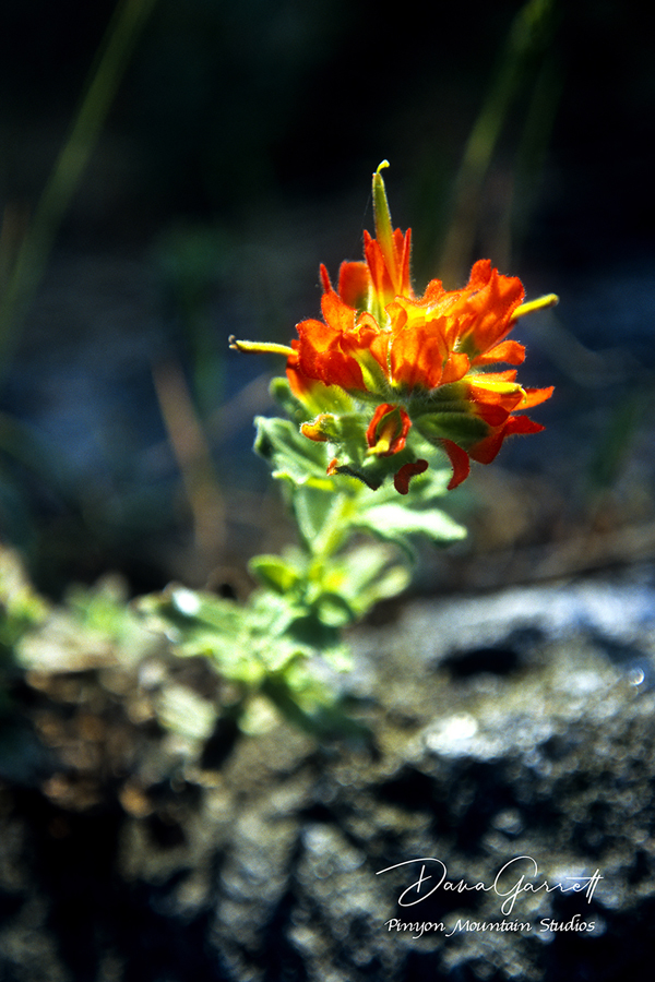 indian paintbrush, flower, blossom, point lobos, flora, carmel, california, nature, dana garrett, pinyon mountain studios