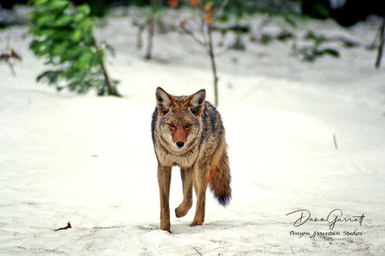 yosemite coyote, nature, coyote, wildlife, yosemite, winter, dana garrett, pinyon mountain studios, pinyon mtn studios
