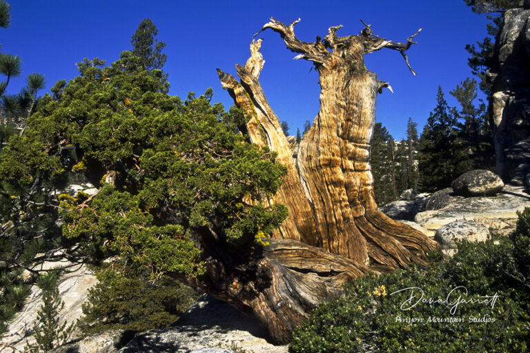 ancient, yosemite, tree, pinyon mountain studios, dana garrett, high altitude